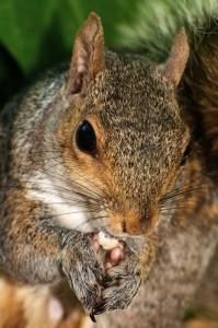 écureuil mange
