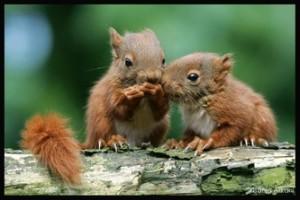 Couple d'écureuils