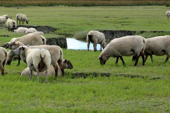 Découverte d'un élevage ovin traditionnel